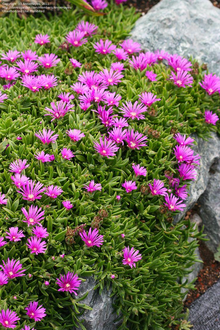 Delosperma sutherlandii - Transvaal Mittagsblume