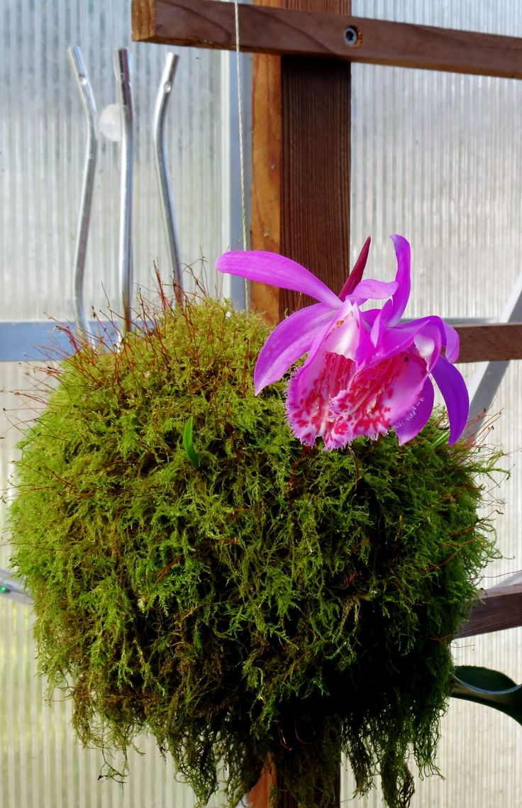 122 best kokedama orchids images on pinterest flower arrangements gardening and ikebana. Black Bedroom Furniture Sets. Home Design Ideas