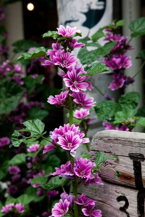 "Indian Hollyhock. gardening, flowers, purple, landscaping.  (I bought same plant as ""Zebra Hollyhock.""  It now grows wild in my yard.)"