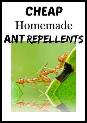 Cheap and Natural Homemade Ant Repellents