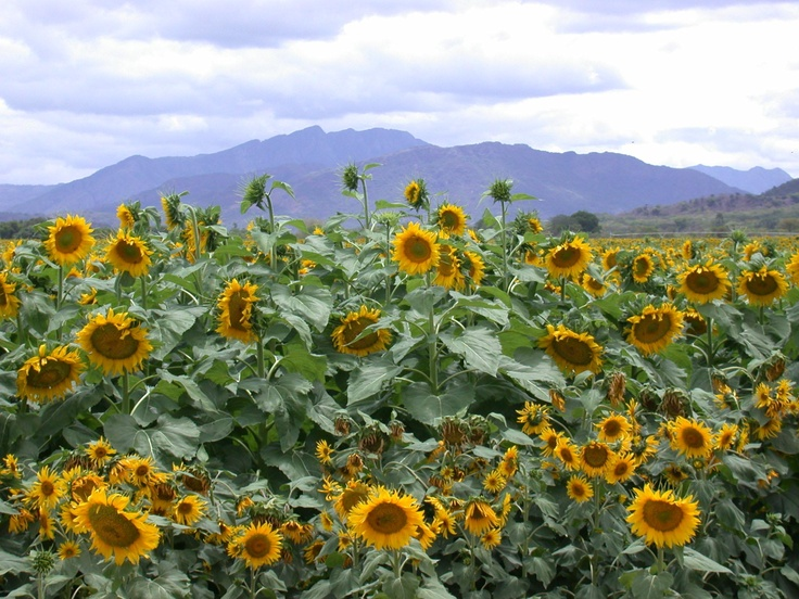Field of sunflowers, Limpopo Province, South Africa