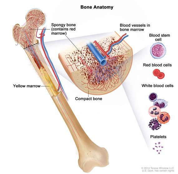 Anatomy of the bone; drawing shows spongy bone, red marrow, and yellow marrow. A cross section of the bone shows compact bone and blood vess...