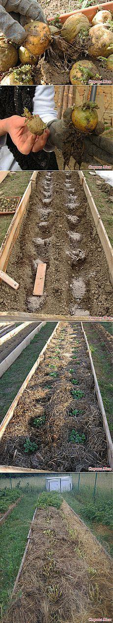 """Ах картошка-тошка-тошка...: Дневник группы """"Сад, огород"""" - Страна Мам"""