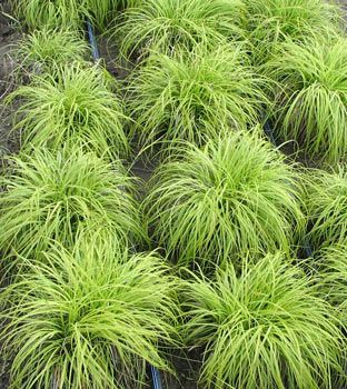 """Carex caryophyllea 'Beatlemania' - The Beatles Spring or Vernal Sedge. Description: cool season; evergreen in warmer climates; slow spreader  Foliage - dense and arching or slightly curling; green, narrow with golden yellow edges; 6"""" tall  Flowers - inconspicuous"""