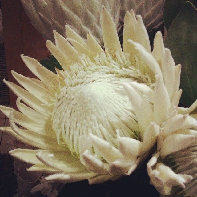 White king protea. Very rare, even in Cape Town! Found this one at Caroline Fine Flowers in the V&A Waterfront.