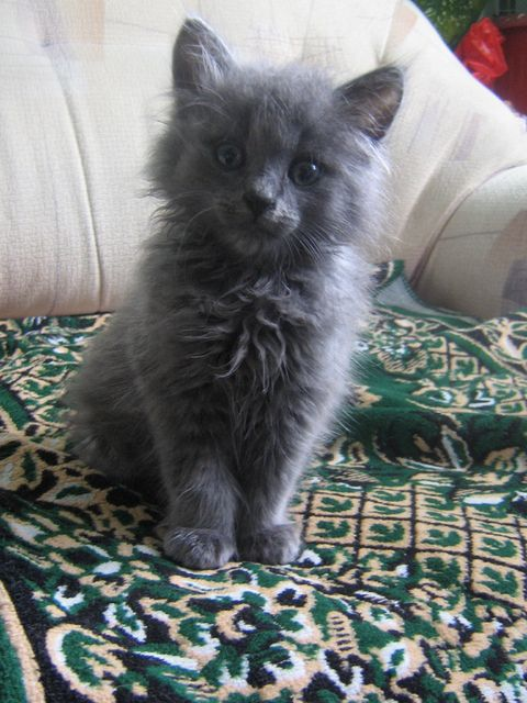 14 Best Pictures Of Nebelung Cats And Kittens Images On