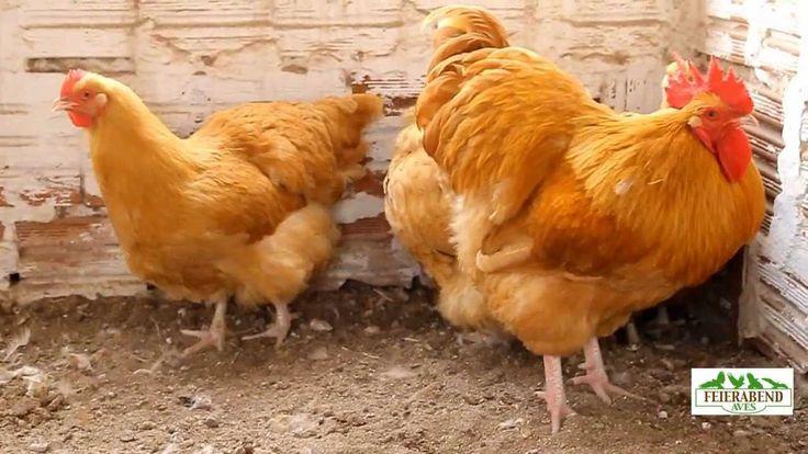galinha Orpington Amarelo  - Pesquisa Google