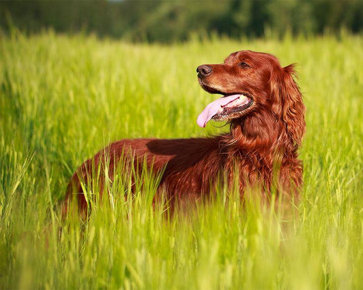 O Setter Irlandês é um cão muito ligado à sua família, amigo das crianças e com necessidade de muito exercício físico. Esta raça não é, contudo, adequada para apartamentos. Saiba mais!