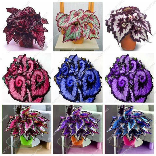 50pcs Coleus Flowers Plantas Bonsais 24 Colors Begonia Bonsai Plants Flower Courtyard Balcony Garden Potted Best Seeds Online Free Shipping Worldwide Best In 2020 Flower Seedlings Pink Lily Flower Lily Flower Seeds