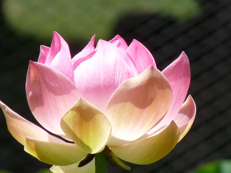 Flor de Loto, Isla Mauricio