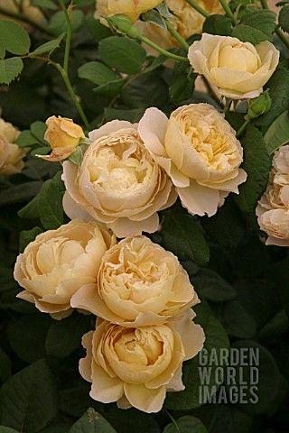 ROSA_CHARLES_DARWIN_ROSE_BREEDER__AUSTIN_2003