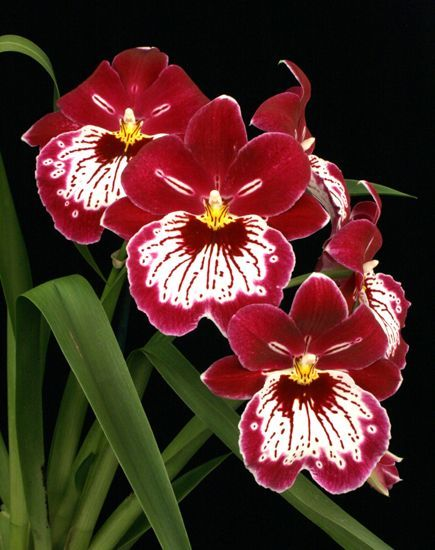 Miltonia Orchid  Common Name: Pansy Orchid  Scientific Name: Miltonia hybrid  Description: Often called the Pansy orchid, it is the queen of the orchid kingdom, Cattleya orchids being the king. Miltonia have large and long lasting flowers, often in multifloral inflorescences. This fact, allied to being species that are easy to grow and to identify, make them a favorite of orchid collectors all over the world.  #Flowers #Gardens #orchids #plants #Hawaii