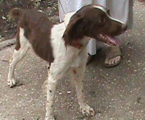 AL-Sparky is an adoptable Brittany Spaniel Dog in Baldwinsville, NY. Meet Sparky, a beautifully patterned, liver and white, male Brittany who is about 1 year old and 35lbs.Sparky came to us as urgen...