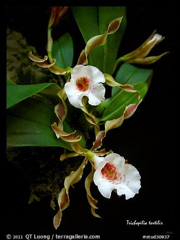 Picture/Photo: Trichopilia tortilis plant. A species orchid
