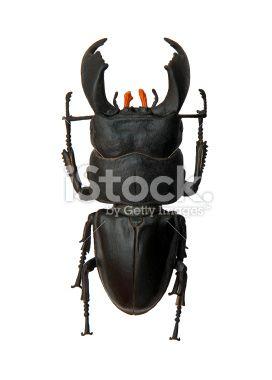 Beetle Royalty Free Stock Photo