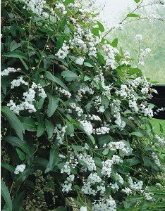 Hardenbergia Edna Walling Snow White. To climb over the studio and the metal fence along our western boundary.