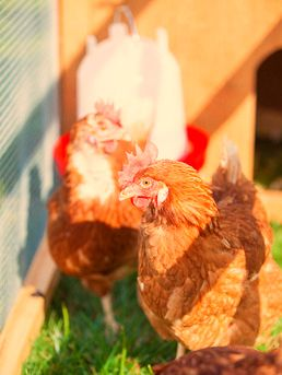 Amazing! Massive Rescue and Adoption of 1,800 Egg-Laying Hens (VIDEO http://onegr.pl/1jUDGVm #animalrights #rescue