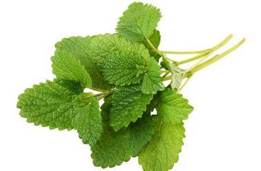 Mélisse officinale: découvrez les bienfaits et vertus de la mélisse et aussi les propriétés médicinales de cette plante herbacée.