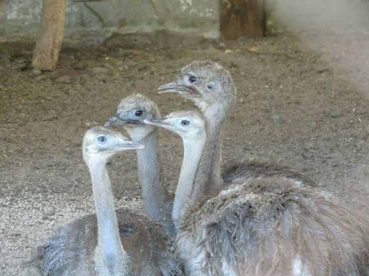 Avestruz bebés