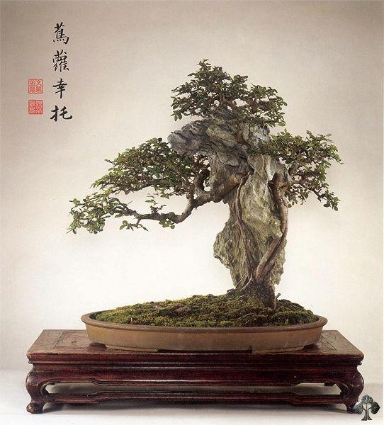 Olmo chinês (Ulmus parviflora Bonsai)