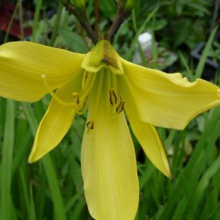 Hemerocallis citrina (Daglelie) - p9