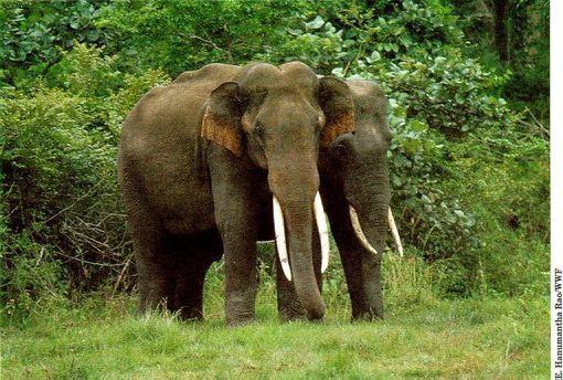 Elefante Asiático. Este animal esta en peligro de extinción debido a la falta de hábitat por la deforestación, la caza excesiva para conseguir los colmillos de marfil también ha afectado en gran medida la supervivencia del paquidermo.