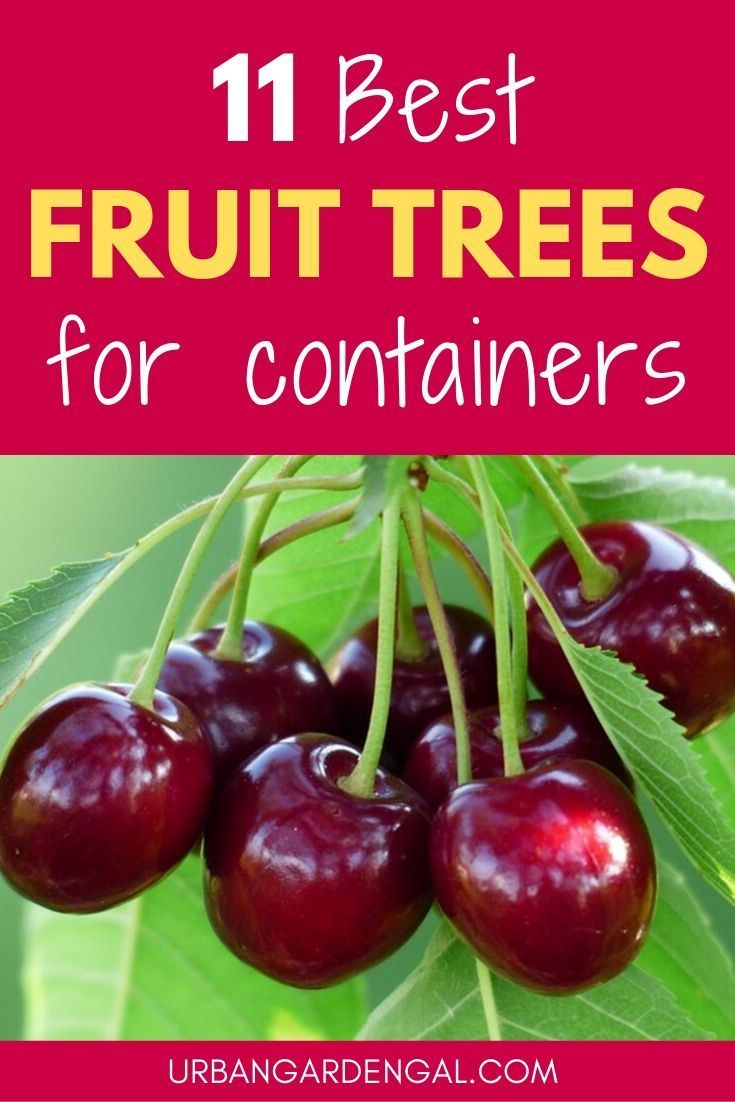 Small Fruit Trees Look Great Growing In Containers And Pots If You Haven T Got Much Space In Your Yard Small Fruit Trees Growing Fruit Trees Dwarf Fruit Trees