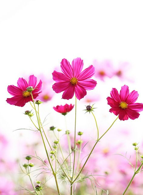 ~~pink cosmos by * Yumi *~~