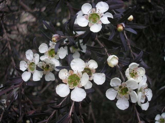 Leptospermum Starry Night Leptospermum obovatum selected form If you're in the market for the best of the best in screening plants, go straight to Leptospermum Starry Night. Do not stop till you ha…