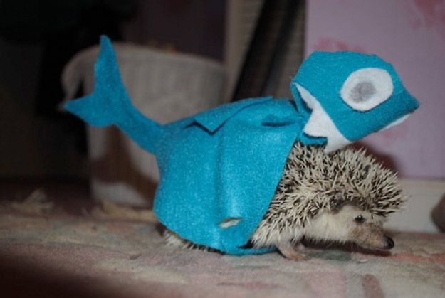 how to get a hedgehog in california