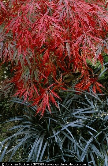 Japanese maple with black mondo grass.  So many different kinds of Japanese maples.