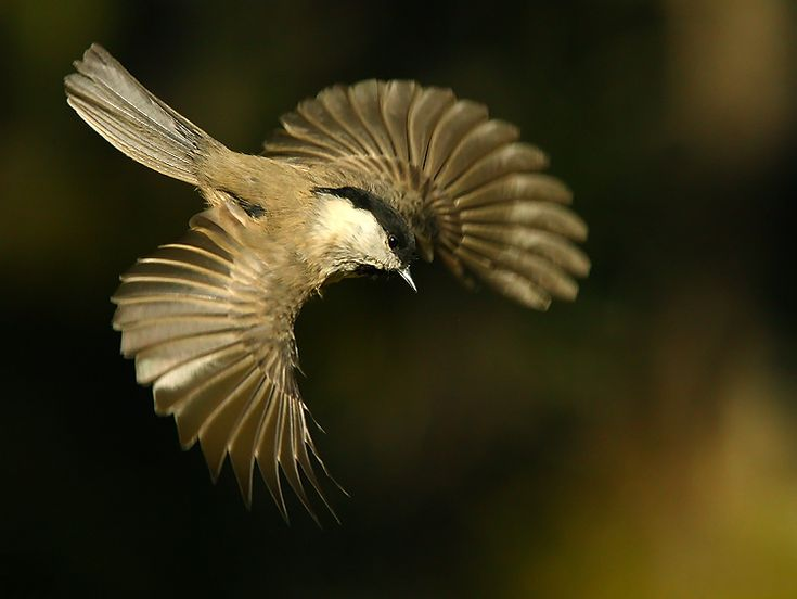 Willow Tit in Flight http://fc-foto.de/11492554