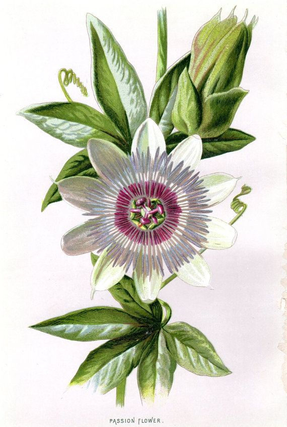 1887 Antique Botanical Print Passion Flower by AntiquarianPrints, $15.00