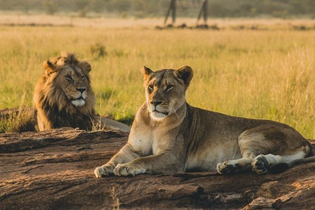 Leones Machos Y Hembras Tumbados En La A Free Photo Freepik Freephoto Viajes Naturaleza Animal Gato Animals Lions Photos Female Lion