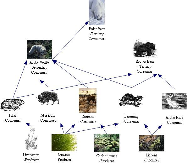 Arctic Tundra Biome Food Web | practically the entire food chain of the arctic tundras 5