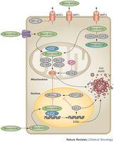 Candidate genes implicated in doxorubicin-induced cardiotoxicity.