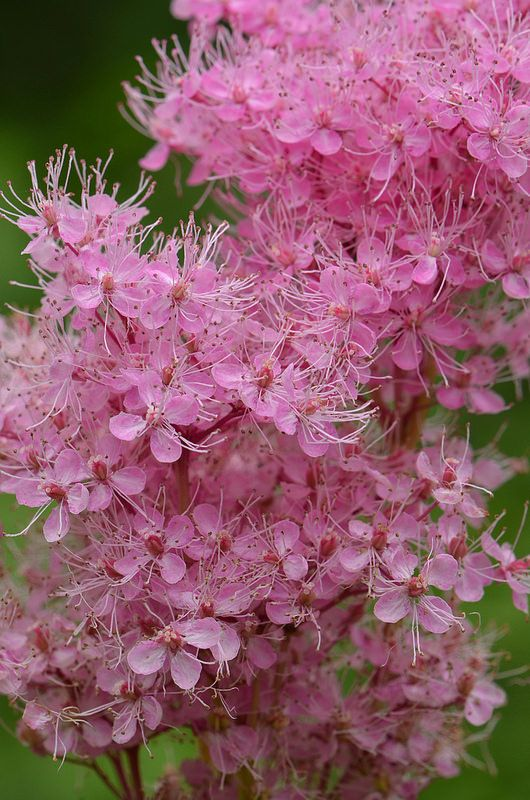 1000 images about filipendula on pinterest sun perennials and plants. Black Bedroom Furniture Sets. Home Design Ideas