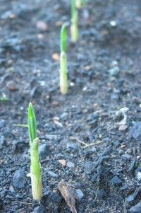 How to Grow Garlic!