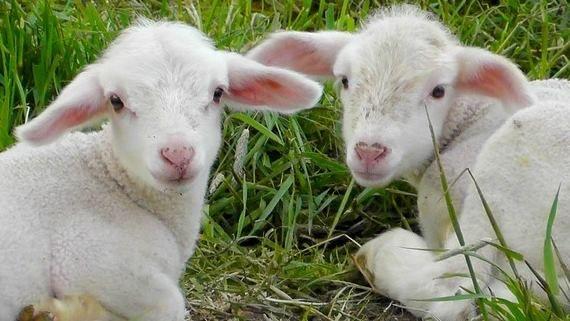 Los animales domésticos mejorados crecen más rápido y aumentan la productividad