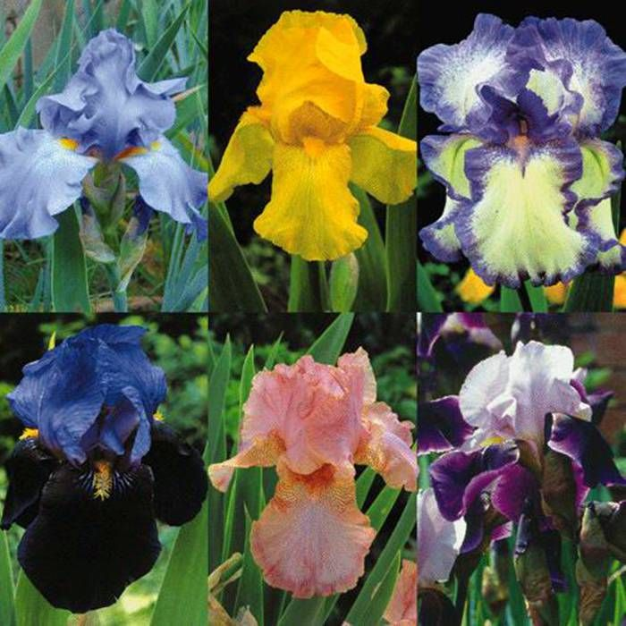 Iris Germanica Collection 6 Plants Buy Online Order Now