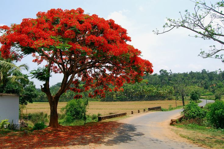 Delonix Regia, Gulmohar Tree, Coorg, South India, also known as Flamboyan-- we have these trees in my hometown in south Texas, and they are beautiful.