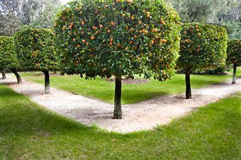 A block of citrus trees. 12 trees of Grapefruit, Navels, Hamlins, Tangerines, Meyers Lemon and a lime tree.