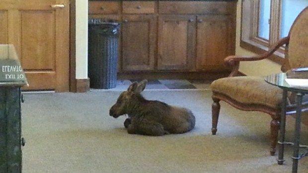 Baby Moose Takes A Break In Lobby Of Antlers Hotel In Vail « CBS Denver