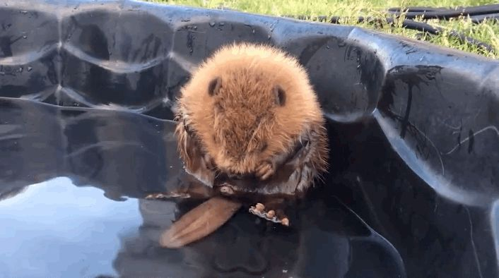 And he can't even CONTROL HIS OWN TAIL. | This Baby Beaver Who Can't Even Control His Own Tail Is What We Need Right Now
