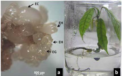 Pembentukan embrio somatik kakao klon ICS 13 yang diinduksi secara in vitro (a) dan pembentukan planlet asal embrio somatik dengan akar tunggang yang melingkar karena keterbatasan ruang di dalam botol kultur (b). Keterangan: EC = embrio somatik fase kotiledon, EG = embrio somatik fase globular dan EH = embrio somatik fase hati.