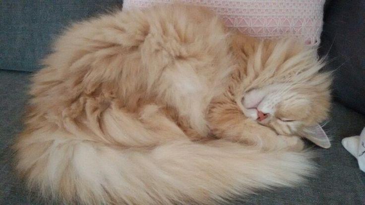 Chiva mijn siberische kat