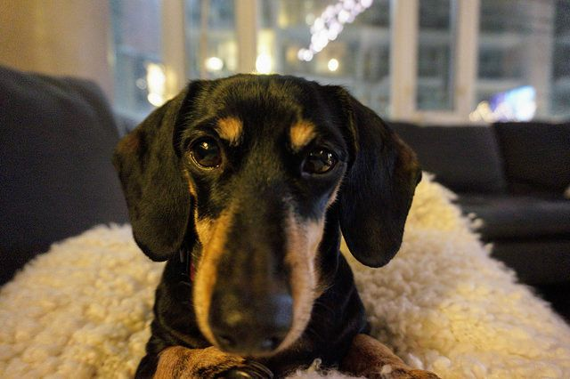 Is Your Dachshund Driving You Crazy Make Massive Change To Your