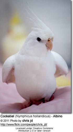 White-face Lutino Cockatiel