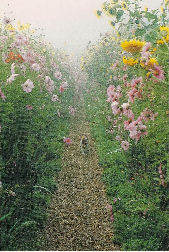 Pink cosmos and golden sunflowers tower above Fifi, the calico cat who resides in Monet's garden, as she strolls down a gravel path in the silver mist of dawn. Photograph by Elizabeth Murray c.1990,  from a collection of postcards published by Pomegranate.
