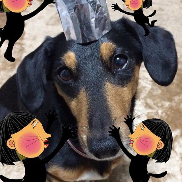 3.31 祝 ムギ 7さい♡ アルミホイルの👑笑 私作 (*´罒`*) . . #愛犬#祝#誕生日#ミニチュアダックス#ジャックラッセルテリア#ミックス犬#元気でいてね